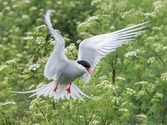Arctic Tern (alanrharris53) Tags: arctic tern sandeel bird aves farne islands