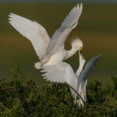 Snowy Egrets (Kevin E Fox) Tags: snowyegret egret egrettathula oceancity newjersey nj bird birdwatching birding birdphotography birds sigma150600sport sigma shorebirds shorebird nature nikond500 nikon rookery