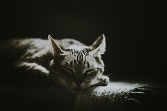 Tzina (Pan.Ioan) Tags: cat feline animal domestic mammal relaxation rest bed indoors head closeup