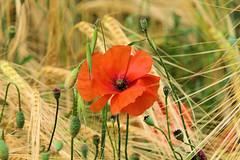 P1110764 (alainazer2) Tags: saintmichellobservatoire provence france fiori fleurs flowers fields champs colori colors couleurs coquelicot poppy papavero blé grano wheat