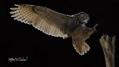 Eagle Owl_T3W2057 (Alfred J. Lockwood Photography) Tags: alfredjlockwood nature birdsinflight birdsofprey eurasianeagleowl stump lowkey canadianraptorconservancy crc ontario canada autumn morning