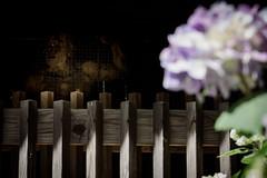 東大寺別院阿弥陀寺あじさい祭り 2019 #8ーAmida-ji Temple Hydrangea Festival 2019 #8 (kurumaebi) Tags: yamaguchi 防府市 houfu nikon d750 阿弥陀寺 寺 temple アジサイ hydrangea japan 日本 仁王門 金剛力士像