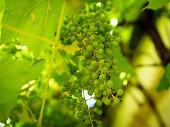 20190704-024 (sulamith.sallmann) Tags: essen pflanzen botanik deutschland europa food grün natur obst pflanze rudolstadt thüringen trauben weintrauben sulamithsallmann
