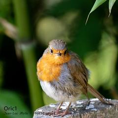 Rouge-gorge (Oric1) Tags: breizh france oric1 côtesdarmor nature ornithology brittany armorique eos rougegorge canon jeanluc molle oiseaubird sport oiseau ornithologie 120300mm sigma bird bretagne 22 robin jeanlucmolle