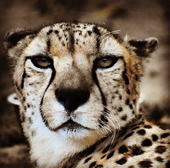 Cheetah (Wheeld1der) Tags: cheetah sandiegozoo sandiegozoo2019 sdzglobal bigcats