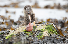 Rubbery Lunch (Alastair Marsh Photography) Tags: shetland shetlandislands shetlands otter otters ottercub ottercubs otterfamily coastline coast britishcoast britishcoastline sea seaweed octopus fishing fish animal animals animalsintheirlandscape wildlife britishwildlife britishanimals britishanimal britishmammals britishmammal mammal mammals mammalsociety