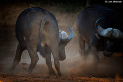 Showdown at sunset (leendert3) Tags: leonmolenaar southafrica krugernationalpark wildlife wilderness naturereserve naturalhabitat nature wildanimal mammal capebuffalo naturethroughthelens ngc npc