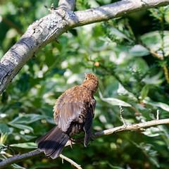 Merlette prend le soleil (Nicopope) Tags: merlette nikon oiseau bird birds vögel vogel