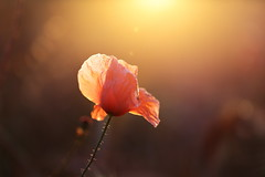 IMG_4928 (geraldtourniaire) Tags: mohn macro natur nature eos6d ef ef28100lmacroisusm 6d schärfentiefe sonnenaufgang bokeh beauty blüten