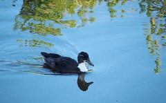 duck & reflections (evablanchardcouet) Tags: duck canard water reflections nature birds