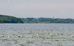 American White Pelicans & Double Crested Cormorants (TheNovaScotian1991) Tags: alberta canada nikond7100 nikkor55300mmf4556gedvr americanwhitepelican group flock doublecrestedcormorant laclabiche beautiful town watertower landscape water waves trees