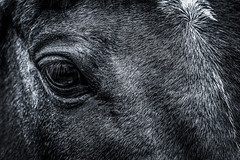 Close encounters of the third eye (Gullivers adventures) Tags: bnw horse fly flickr windowsofthesoul coat shapes animal nature look bug love landscape sony blackandwhite beautiful beautifullycaptured monochrome explore riding photo photography lens hair animalhair mono artistic closeup flickrd