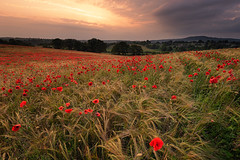 Sunset & Storm (Pete Rowbottom, Wigan, UK) Tags: poppy poppies sunset colourfulsunset clouds stormclouds field meadow poppyfield flowers wheat grass worcester bewdley worcestershire midlands uk england pete rowbottom nikond810 fotopro nisi light goldenhour sun sunlight mood wideangle sky dramaticsky summer 2019 wind weather hills rollinghills cloud blackstonepoppyfields