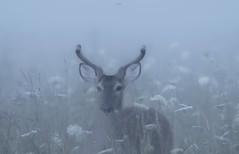 Spring in the Smokies (agnish.dey) Tags: deer wildlife wilderness mammal fog flowers smokymountainnationalpark nature naturallight naturephotograph nikon naturethroughthelens nationalpark d500 coth animalplanet