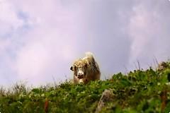 hayri cow (Cica cx_ph) Tags: ribia svizzera ticino onsernone mucca permanente bigodini alpi nikkor escursioni montagna