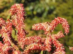 Flor do pajeú (Alexandre Marino) Tags: pajeú pauformiga árvores trees flores flowers