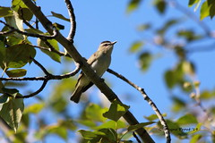 Red-eyed Vireo (Vireo olivaceus) (Gerald (Wayne) Prout) Tags: camera city ontario canada digital canon lens photography eos conservation area dslr photographed northern timmins northeastern northernontario prout gillieslake redeyedvireo ef70300mmf456isusm 60d northeasternontario canoneos60d gillieslakeconservationarea cityoftimmins geraldwayneprout canonlensef70300mmf456isusm bird nature birds animal animals wildlife aves animalia songbird vireo passeriformes redeyed passerine chordata perchingbird olivaceus vireovireo vireonidae vireoredeyed olivaceusanimaliachordataavespasseriformesvireonidaevireoolivaceusredeyedbirdbirdsperching birdanimalanimalssongbirdpasserinewildlifenature
