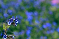 Blue bokeh (Ron and Co.) Tags: forgetmenot myosotisarvensis flower blue bokeh depthoffield green garden