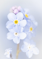 Forget-Me-Not (TrotterFechan) Tags: forgetmenot flower buds blue yellow