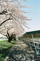 Sakura on the bike parking (しまむー) Tags: minolta srt101 mc rokkor 50mm f14 kodak gold 200 桜
