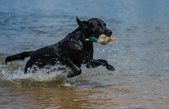 Buddy and the duck (The Papa'razzi of dogs) Tags: black buddy outdoor dog duck labrador nature water herning centraldenmarkregion denmark