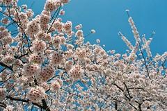 At our best (しまむー) Tags: minolta srt101 mc rokkor 50mm f14 kodak gold 200 桜
