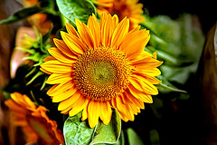 ...because everybody shoots sunflowers (Fnikos) Tags: flower flowers flor flores fiore fiori nature naturaleza natura leaf leaves color colour colores colours colors yellow orange green dark light shadow shadows dof depth depthoffield bokeh outside outdoor