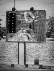 Pedigree Pall (patrick.verstappen) Tags: max belgium bw monocrome pedigree pedigreepall dog pet advertisement animal add adorable adorável buldog gingelom nikon photo picassa pinterest pat portrait patrick patrickverstappen yahoo google flickr facebook funny bélgica barbie xxx boy hdr hand me candy animale oldtimer fantastic topmodel