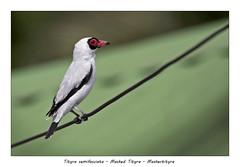 Masked tityra (Jan H. Boer, Nature photographer) Tags: tityrasemifasciata maskedtityra maskertityra birds nature wildlife male portrait costarica turrúcares mybackyard nikon d500 afsnikkor200500f56eedvr jan´sphotostream2019