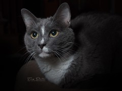 Feline Portrait (treydavisonline) Tags: nikon d750 2470 flashpoint lion r2 low key lowkey softbox portrait cat animal feline
