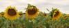 Sunflowers (Meino NL) Tags: zonnebloem sunflower bloem plant flower costabrava