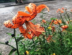 183/365 (moke076) Tags: 2019 365 project 365project project365 oneaday photoaday mobile cell cellphone iphone flower lily tigerlily bloom blossom flowers nature orange closeup