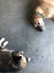 189/365 (moke076) Tags: 2019 365 project 365project project365 oneaday photoaday mobile cell cellphone iphone great dane dog animal pet moose fawn maine coon kitty cat jake petsits laying down