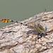 Flag-tailed Spinyleg (Dromogomphus spoliatus) - first male