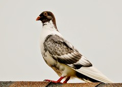 A Homing Pigeon (Susan Roehl) Tags: nearthegulfofmexico neighborsroof southwestflorida usa pigeons birds animals 344spiecieswildpigeons ove359breedsofdomesticpigeons commonsightinurbanareas sueroehl lumixdmcgh4 100400mmlens handheld feral coth5 ngc npc
