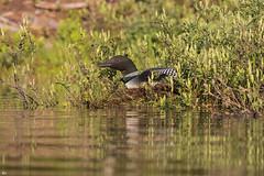 ''Le trésor!'' Plongeon huard-Common loon (pascaleforest) Tags: kayak lumière light nid faune wildlife wild canada québec nature nikon passion bird oiseau animal