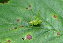 Speckled Bush-cricket nymph — -Leptophyes punctatissima (creaturesnapper) Tags: insects uk europe maplelodge orthoptera speckledbushcricket nymph