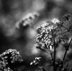 Little white flowers (GillK2012) Tags: huw anthriscussylvestris cowparsley wednesday umbellifer blackandwhite bokeh bw monochrome wildflowers
