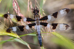 Dragonfly (jimmy.stewart40) Tags: dragonfly insect wings nature outdoors beautyinnature macro closeup