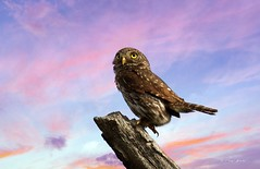 Northern Pygmy Owl (Thy Photography) Tags: sunrise sunset birdofprey owl backyard outdoor bird animal raptor nature photography wildlife california northernpygmyowl