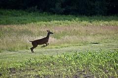 Liftoff! (Myusername432) Tags: deer whitetailed evening buck carlisle reservation ohio field corn nature wildlife animal scared