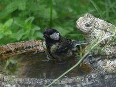 Great Tit Bathes (river crane sanctuary) Tags: greattit rivercranesanctuary bird naturewildl