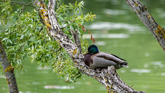 At rest on a tree  / Petit dodo sur un arbre (Joseph Trojani) Tags: canard duck arbre tree sièste repas nap rest inatree eau water vert green branche branch arm colvert