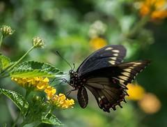 Battus Butterfly (ACEZandEIGHTZ) Tags: macro closeup nature lantana flowers nikond3200 bokeh goldrim swallowtail garden bright color flyinginsect battuspolydamas contactgroups simplysuperb thebestofmimamorsgroups flickrsportal
