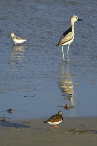 Crab Plover (Dromas aedeola) with Redshank (Tringa totanus) in the foreground