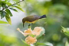 Olive-backed Sunbird(Female) (MEphotog) Tags: olive backed sunbird singapore satay by bay wild bird female flower