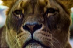Gaia Zoo (Juli 2019) (Günter Hentschel) Tags: gaia gaiazoo kerkrade limburg nl holland niederlande tierpark tiergarten tiere wildtiere raubtiere lebewesen löwen erdmänchen flamigos wölfe hentschel flickr nikon nikond5500 nikond3200 d5500 d3200 deutschland germany germania alemania allemagne europa