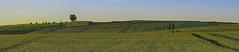 L'arbre sur la colline - The tree on the hill (olivier_kassel) Tags: paysage landscape collines hills champs fields blé wheat arbre tree heuredorée goldenhour panoramique panoramic
