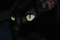 Salem (Hulalulatallulahoop74) Tags: salem cat goyangi gato feline blackcat animal nikond80 macro