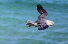 Fulmar flying by (mootzie) Tags: fulmar bird wildlife nature seabird rspb cliff sea blue ness lewis outer hebrides scotland aqua